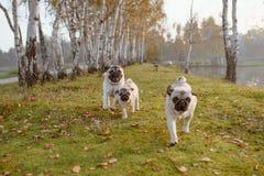 En grupp av tre mops, hundkapplöpning kör in mot kameran, på grönt gräs, och höstsidor i parkerar, nära en sjö eller ett damm royaltyfri bild