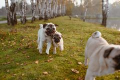En grupp av tre mops, hundkapplöpning kör på grönt gräs, och höstsidor i parkerar, nära en sjö eller ett damm royaltyfria foton