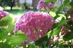 En grupp av vanlig hortensia & x28; Hortensia& x29; Royaltyfri Foto