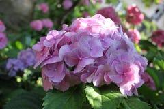 En grupp av vanlig hortensia & x28; Hortensia& x29; Fotografering för Bildbyråer