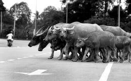 En grupp av vattenbuffeln som korsar vägen royaltyfri bild