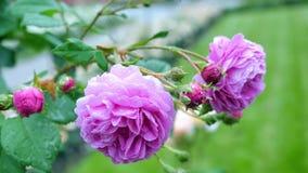 En grupp av violetta blommande rosor Arkivfoton