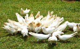 En grupp av vita duvor på jordningen Arkivbilder