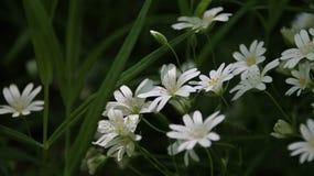 En grupp av vita lilly blommor i trädgården royaltyfria bilder