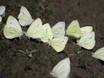 En grupp av vita små fjärilar som sitter på jordningen arkivfoto