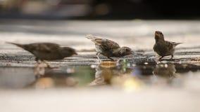 En grupp av vuxna sparvar reflekterade i en pöl Arkivfoton