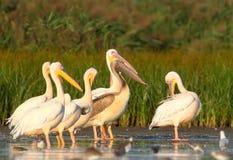 En grupp av vuxna vita pelikan och en ung pelikan vilar i vattnet arkivbild