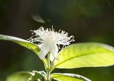 En guava lämnar och blomman Arkivbilder