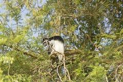 En Guereza Colobus i ett träd Royaltyfria Bilder