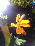 en gul blomma Royaltyfri Foto