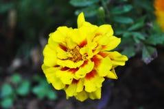en gul blomma Royaltyfri Bild