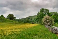 En gul blomma fyllde ängen i de Yorkshire dalarna Arkivfoton