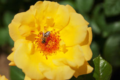 En gul blomma och ett bi Royaltyfri Bild