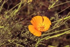 En gul blomma på en solig dag för sommar i trädgården Royaltyfri Fotografi