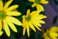 En gul blomma som blommar suddighet royaltyfri bild