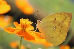 En gul fjäril Arkivfoton