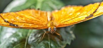En gul fjäril Royaltyfri Foto