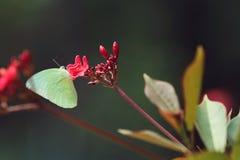En gul fjäril på den röda blomman royaltyfria foton