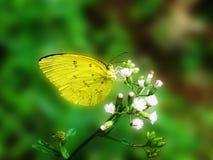 En gul fjäril på gräs Royaltyfria Bilder