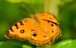 En gul fjäril som vilar på ett grönt gräs arkivfoto