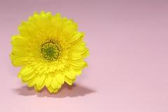 En gul gerbera Royaltyfria Foton