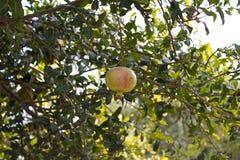 En gul granatrött som hänger på en filial med grön lövverk Den mogna granatäpplet växer på ett träd Gul granatrött arkivfoton