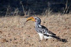 En gul hornbill royaltyfria foton
