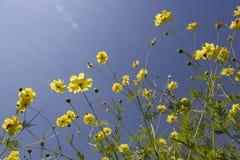 En gul kosmosbuske i solljuset royaltyfria foton