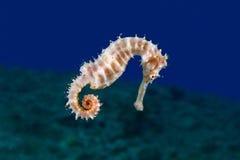 En gul kvinnlig gemensam Seahorse (hippocampusen Taeniopterus) på th Arkivbilder