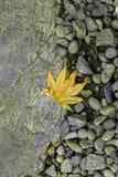 En gul lönnlöv på jordningen Royaltyfri Bild