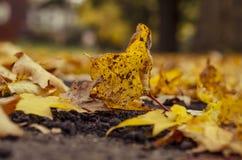 En gul lönnlöv som är stupad på jordning Fotografering för Bildbyråer