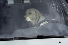 En gul labrador sitter i en varm bil i Finland royaltyfria bilder