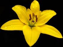 En gul lilja med pistillen och bruna och orange stamens och droppar royaltyfria bilder
