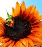 En gul orange solros som ser som It& x27; s som blinkar mot den blåa himlen Royaltyfri Fotografi