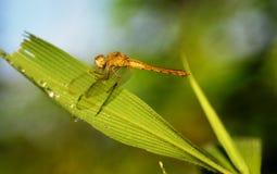 En gul slända, daggdroppar, grönt gräs arkivfoto