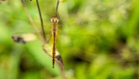 En gul slända som hänger på ett gräs, fattar arkivfoton