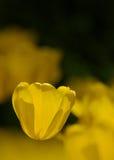 En gul tulpan Royaltyfri Fotografi