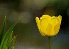En gul tulpan Royaltyfri Bild