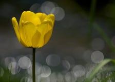 En gul tulpan Arkivbild