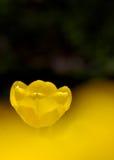En gul tulpan Arkivfoto
