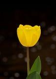 En gul tulpan Fotografering för Bildbyråer
