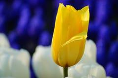 En gul tulpanblomma bland färgrika blommor Arkivbild