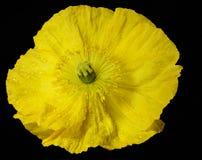 En gul vallmo Arkivfoto