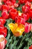 En gula Tulip Blooms i ett fält av rött Royaltyfria Bilder