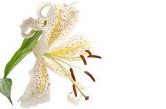 En guld- rayed lilja Royaltyfri Foto