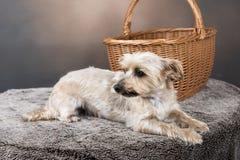 En guld- Yorkshire terrier som lägger ner framme av en korg Arkivfoton
