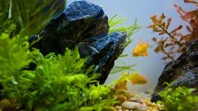 En guldfisk Fotografering för Bildbyråer