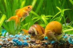 En guldfisk simmar vid två sniglar Ampularia Royaltyfri Bild
