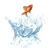 En guldfiskbanhoppning ut ur vattnet arkivfoton