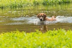 En simning förföljer arkivfoton